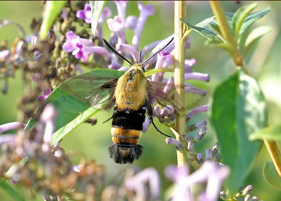Clearwing Hummingbird Moth.
