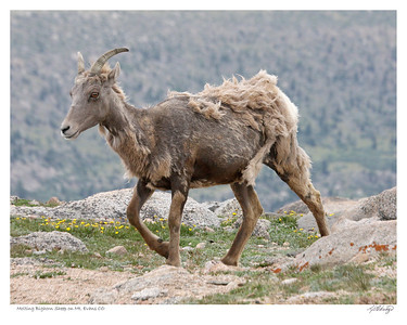 Molting Bighorn Sheep on Mt. Evans Colorado