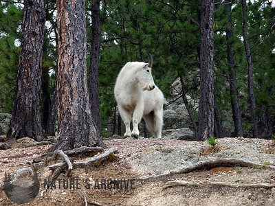 Mountain Goat, Mt Rushmore, SD, USA