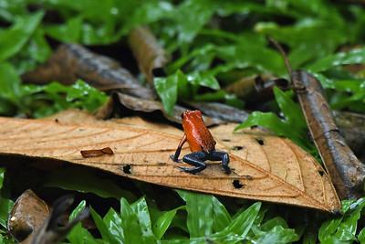 Blue Jean (poison dart) Frog