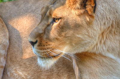 African Lion (female)