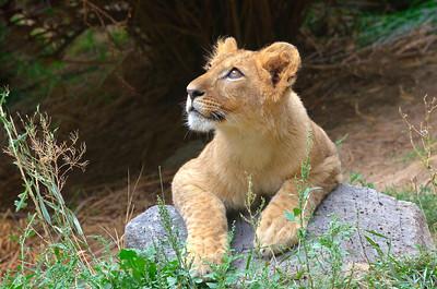 African Lion (juv.)