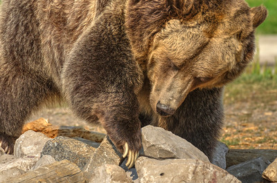 Grizzly (North American Brown) Bear