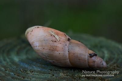 Tree Snail Shell