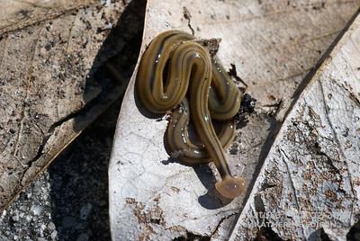 Flat Headed Worm