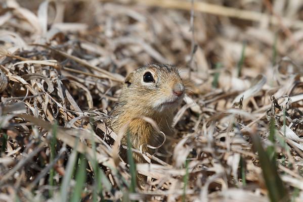 Thirteen-lined Ground Squirrel