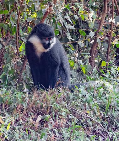 L'Hoests Monkey