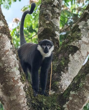 L' Hoests Monkey