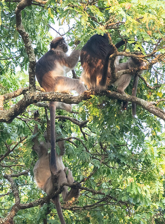 Ugandan Red Colobus Monkeys