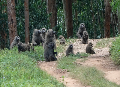 Olive Baboon Troup