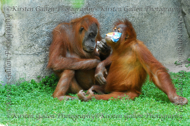 Orangutans having some fun with potato chip bags.