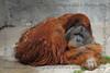 The large male orangutan