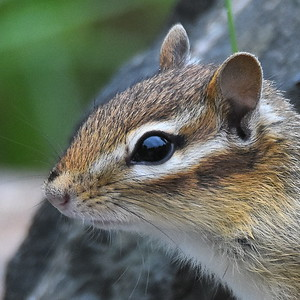 #1477  Chipmunk portrait