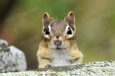 #1182  Chipmunk portrait