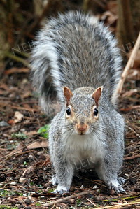 1370  Gray Squirrel