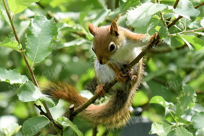 1418  Red squirrel, juvenile playing in a bush