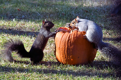 #1596  Squirrels on pumpkin