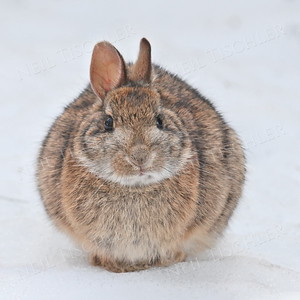 #803  Our backyard bunny sitting comfortably on fresh snow