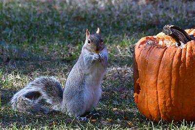 #1597  Gray squirrel eating pumpkin