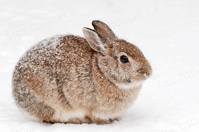 #839  Our backyard bunny, oblivious to the lightly falling snow