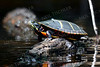 1413  Painted Turtle sunning itself in the Concord River, Concord, MA