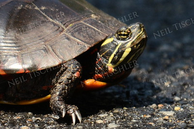 #1203  Painted Turtle portrait