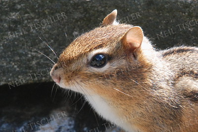 #754  A chipmunk looks about for just a moment