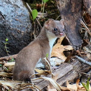 #1134  A short-tailed weasel stops for just a moment