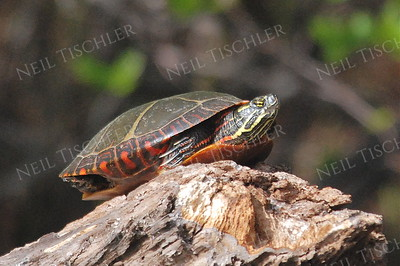 #666  A Painted Turtle warms himself on a log