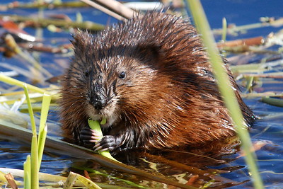 #1528  munching Muskrat (named Maurice) seen at Great Meadows National Wildlife Refuge in Concord, MA in late April