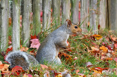 #1519   Gray Squirrel