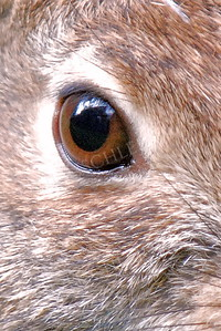 #853  A closeup of a rabbit's eye