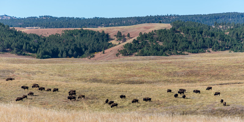 Grazing Buffalo in Custer State Park, South Dakota - October 2014