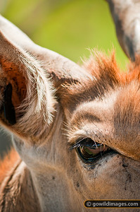 Eland antelope