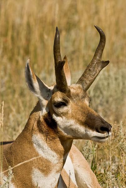 MPG-8059:North American Pronghorn Antelope (Antilocapra americana)