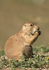 MRD-8055: Blacktail Prairie Dog (Cynomys ludovicianus)
