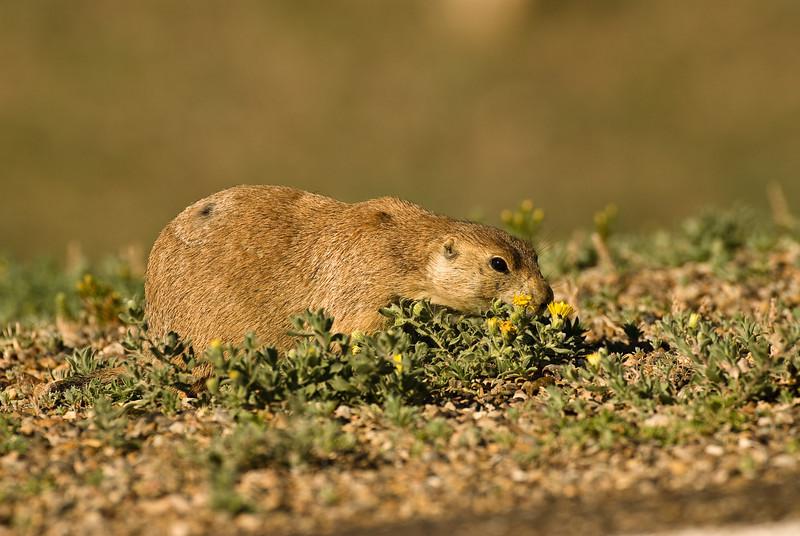 "MRD-8046: Prairie dog at ""stinky marigolds"" (Cynomys ludovicianus)"