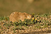"MRD-8046: Prairie dog at ""stinky marigolds"" (Cynomys ludovicianus)"