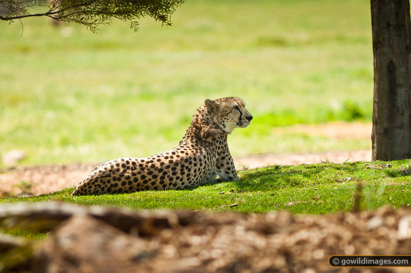 Male cheetah. Other angles available.