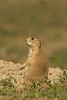 MRD-8031: Blacktail Prairie Dog (Cynomys ludocvicianus)