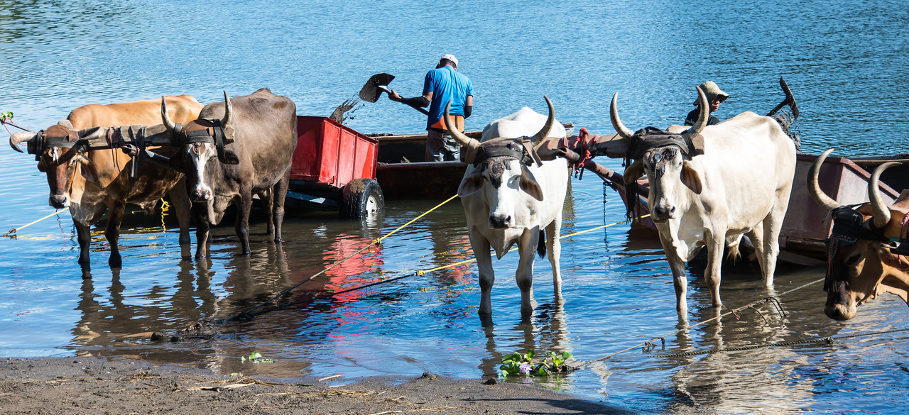 """Sandmen"" shoveling sand from the river bottom into ox carts - Guanacaste, Costa Rica - December 2014"