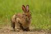 Snowshoe Hare in summer coat