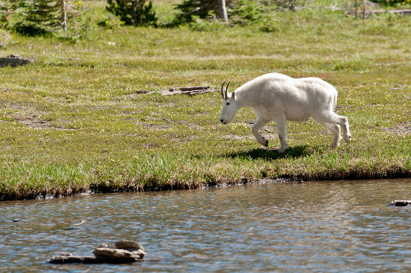 MGT-12040: Mountain Goat at Hidden Lake (Oreamnos americanus)