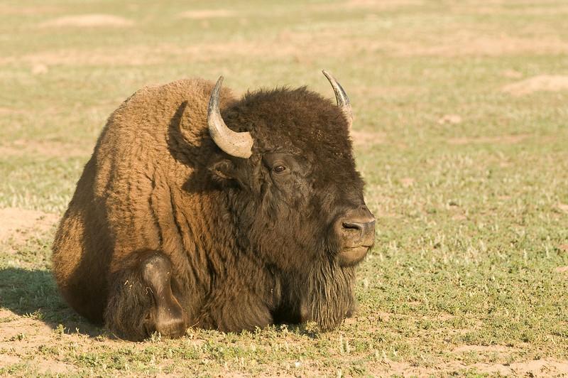 MBU-8028:Restin Bull Bison (Bison bison)