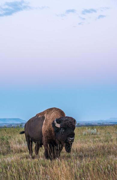 Bull Bison at twilight