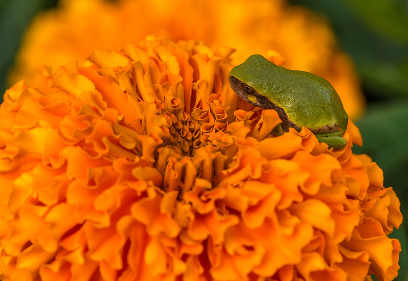 Gray Tree Frog on Marigold