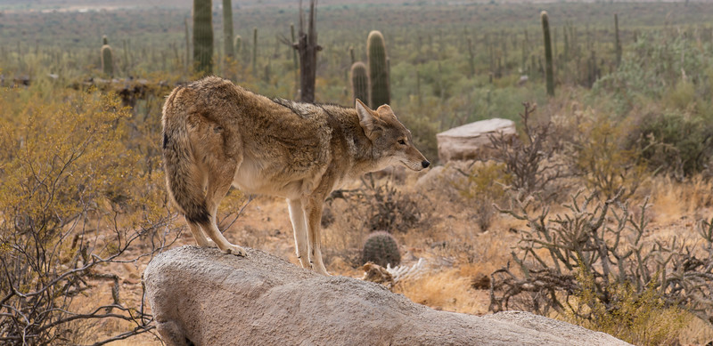 Mexican Wolf perched on rock at Arizona-Sonora Desert Museum, Tucson - December 2017