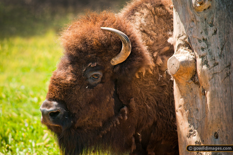 Bison relaxing beside the well-worn scratching post. Other angles available.