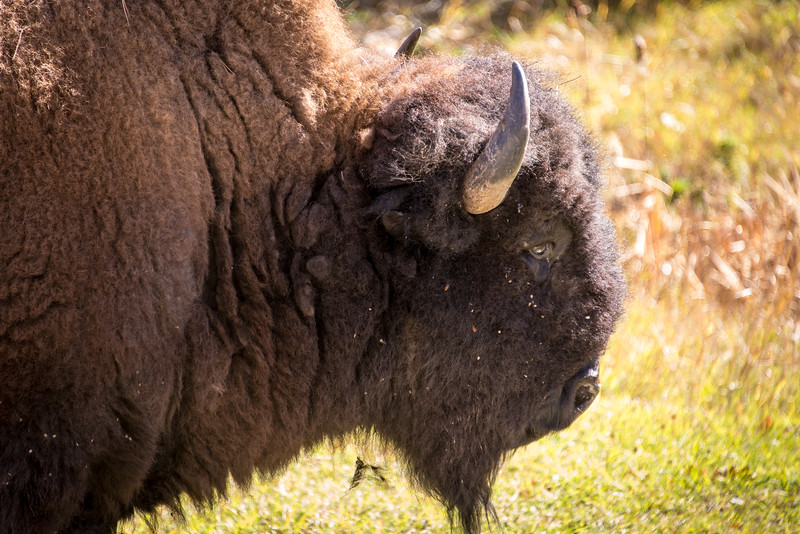 Buffalo in Badlands National Park, South Dakota - October 2014
