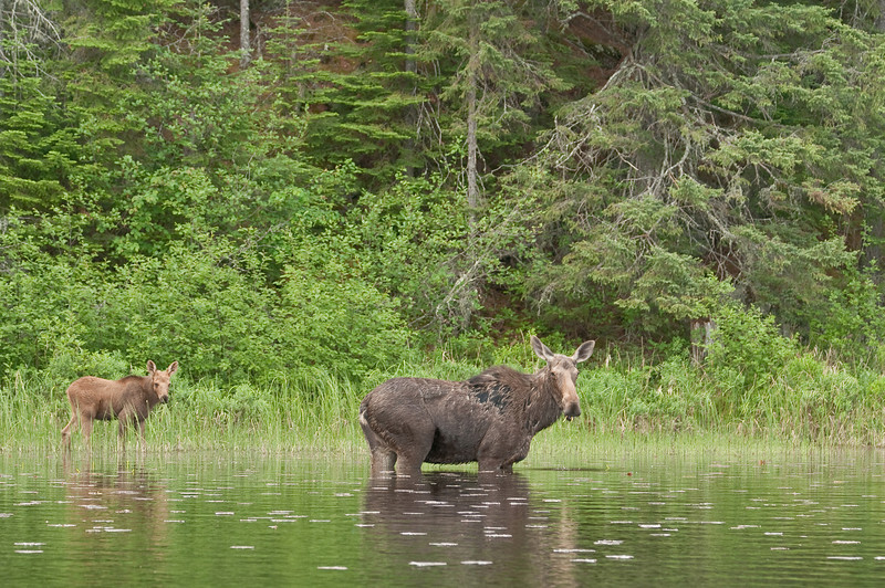 MMO-9012:Minnesota Moose with calf (Alces alces)